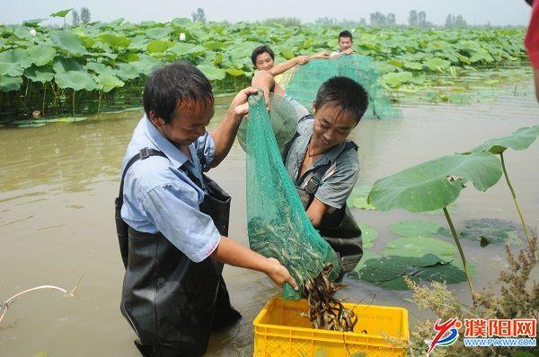 范县生态莲鳅共作场景。.JPG