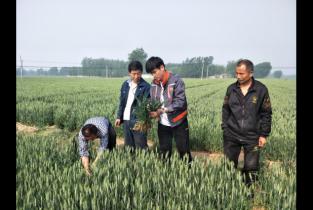 中原农业保险为全市冬小麦冻灾损失提供风险保障
