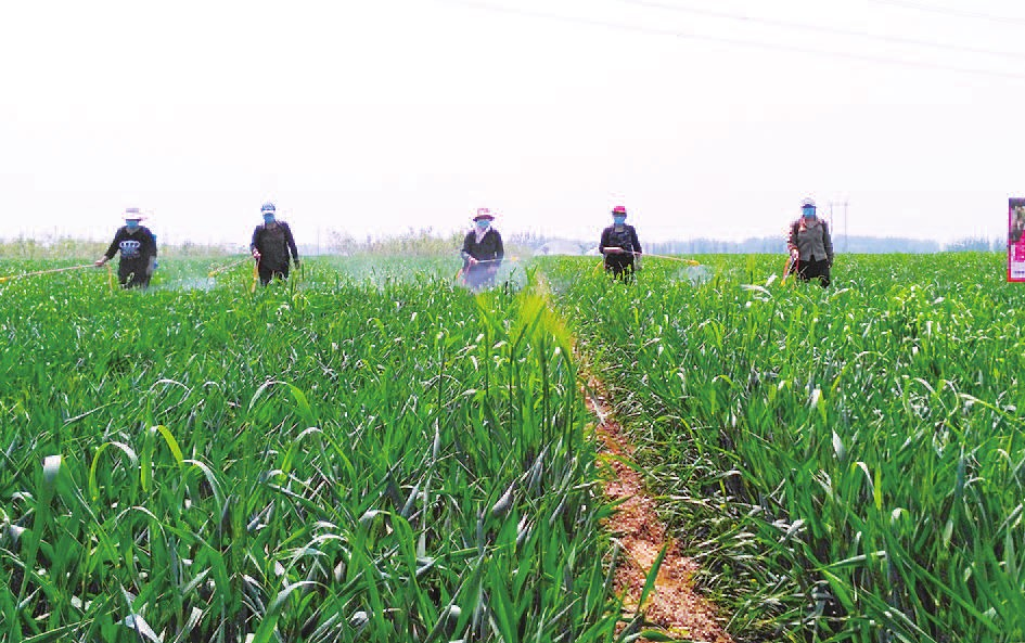 开发区王助镇村民正在麦田喷洒农药