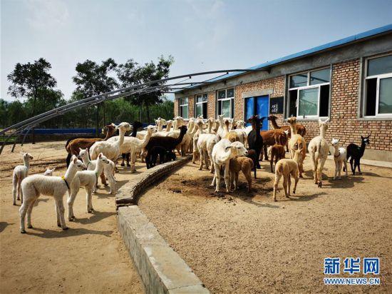 一个被羊驼改变的村庄