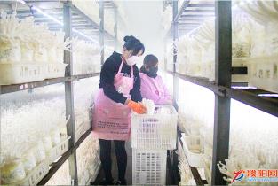 胡村乡宏林菌业有限公司的工人正在采摘海鲜菇
